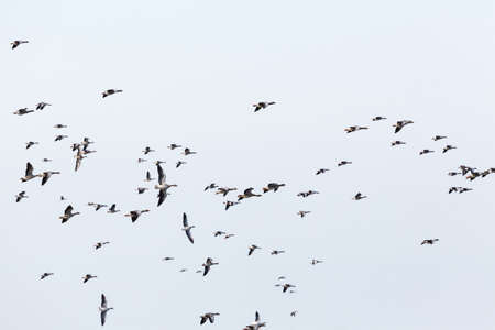 fly: Greylag geese bird migration in the sky Stock Photo