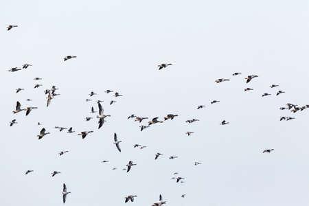 mosca: Greylag geese bird migration in the sky Foto de archivo