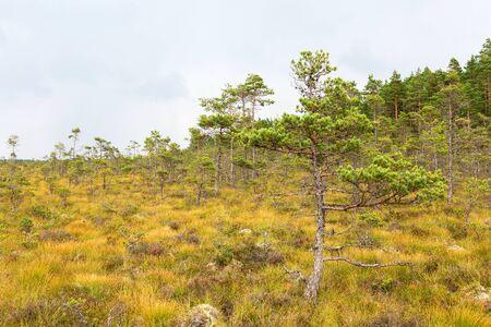 bog: Pine forest in a bog Stock Photo