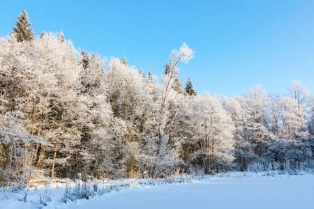 hoarfrost: Forest with hoarfrost on the field Stock Photo