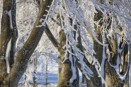 treetrunk: Beech trees with frost on branches