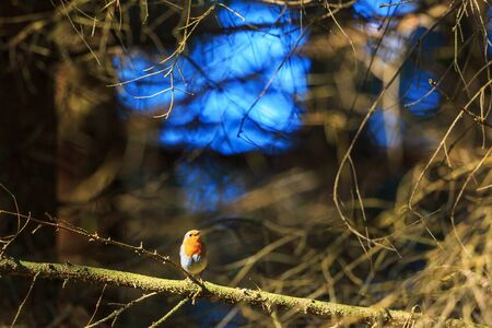 singing: Robin singing from a spruce tree branch Stock Photo