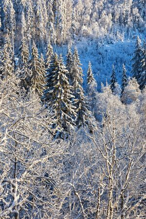 hoarfrost: Winter forest with hoarfrost in the landscape