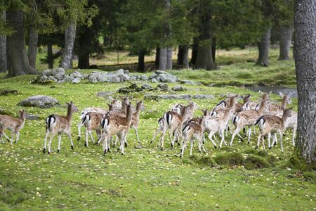 flocking: A herd of fallow deer in the woods Stock Photo