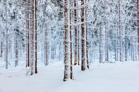 Fichtenwald mit Schnee auf den Bäumen Standard-Bild - 48086713