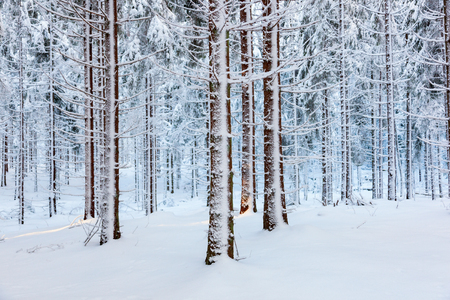 coniferous forest: Spruce forest with snow on trees Stock Photo