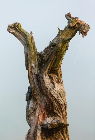 gnarled: Old weathered gnarled tree trunk Stock Photo