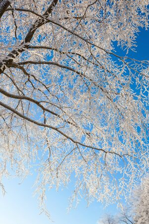 treetrunk: Beech trees with frost on the branches