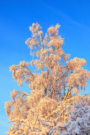 scenic view: Birch treetop in winter forest at dawn Stock Photo