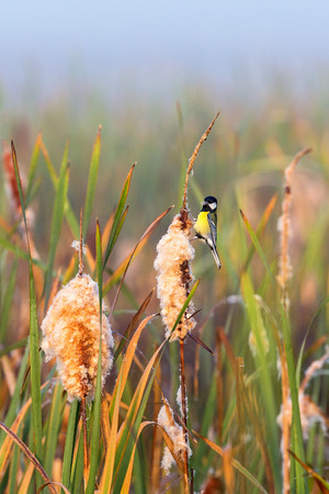 bulrushes: Great tit sitting on a bulrush straw Stock Photo