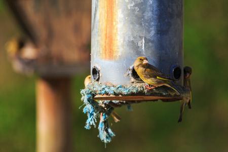 bird feeder: Greenfinch eating from a bird feeder