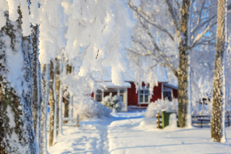 hoarfrost: Tree branch with hoarfrost in winter