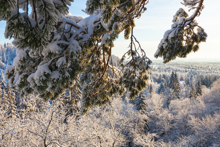 treetops: Pine branch snow in the forest Stock Photo