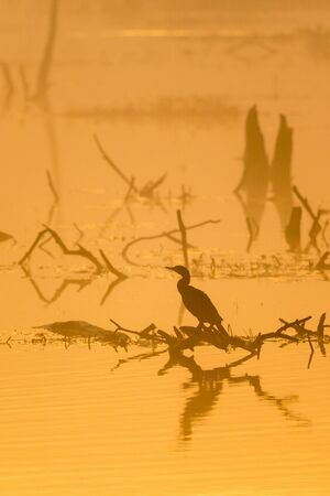 dawns: Great Cormorant sitting on a tree stump in the lake by the dawns mist