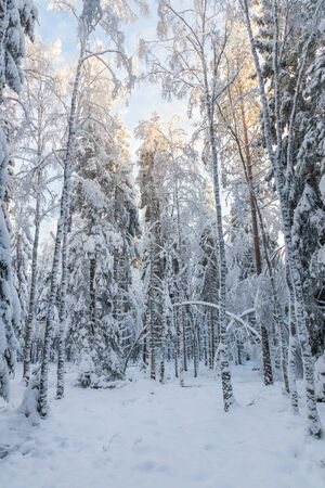 wintery day: Glade in the winter forest with snow