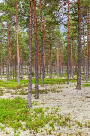 blueberry bushes: Pine tree forest with blueberry bushes Stock Photo