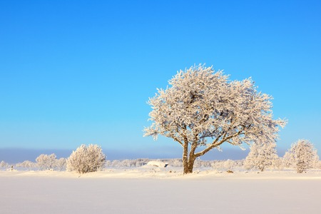 Trees in hoarfrost in the meadow Stock Photo