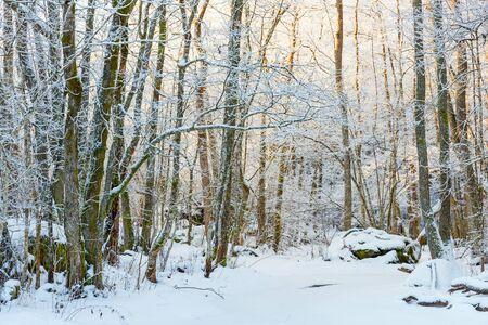 winter sunrise: Sunrise in the winter forest Stock Photo