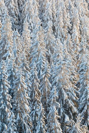 coniferous tree: Spruce woods with snow in the winter