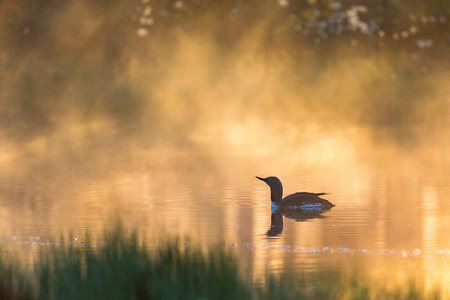 Dawn mist with a loon in silhouette