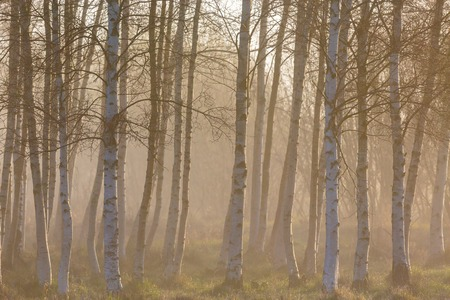 birch tree: Morning fog in birch tree woods