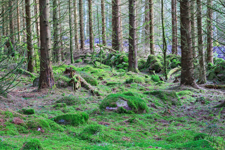 treetrunk: Forest with moss on the ground and an old stone wall Stock Photo