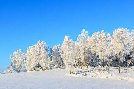 wintery day: Birchtree in snowy winter landscape