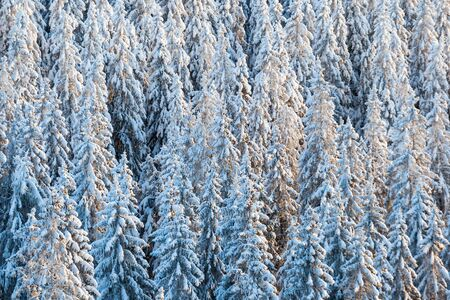 evergreen tree: Snow capped spruce trees in the winter forest