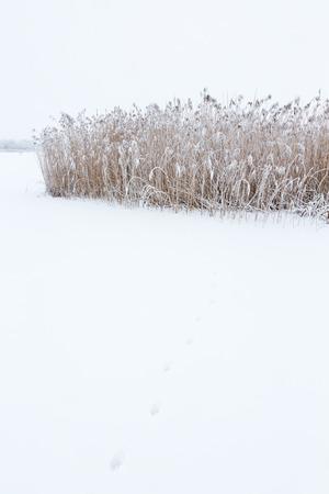 huellas de animales: Pistas animales en la nieve en un carrizal