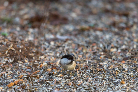sitting on the ground: Tiny Marsh tit sitting on ground with sunflower seeds Stock Photo