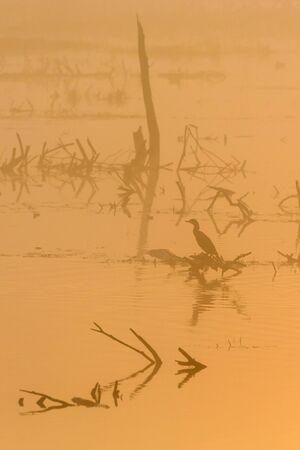 tree stump: Cormorant sitting on a tree stump in the dawn mist Stock Photo