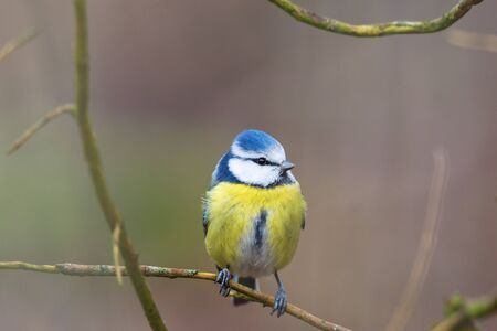 blue tit: Blue tit sitting on a branch and looking