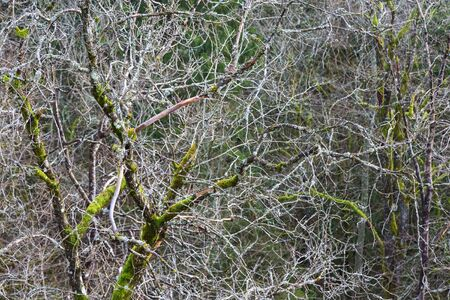 treetrunk: Deciduous trees with moss and leafless