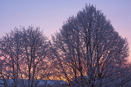 hoarfrost: Dawn Light in the trees with hoarfrost