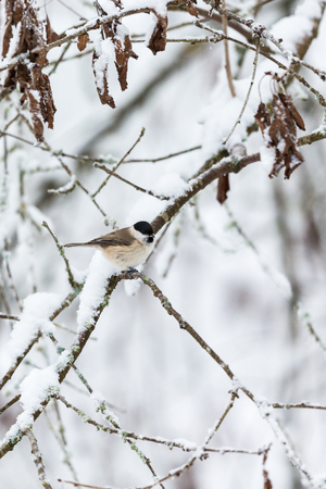 poecile palustris: Marsh tit in wintry forest