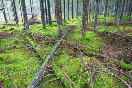 treetrunk: Fallen trees in the coniferous forests