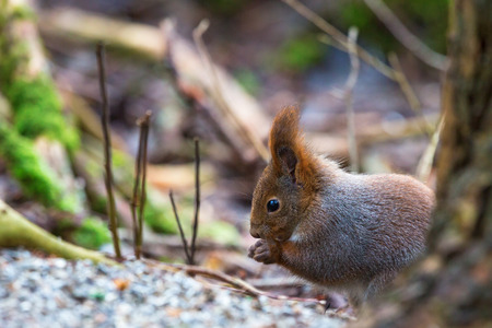 red squirrel: Red Squirrel sitting and eating Stock Photo