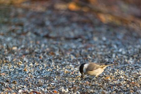 poecile palustris: Marsh tit sitting on the the ground and eating sunflower seeds