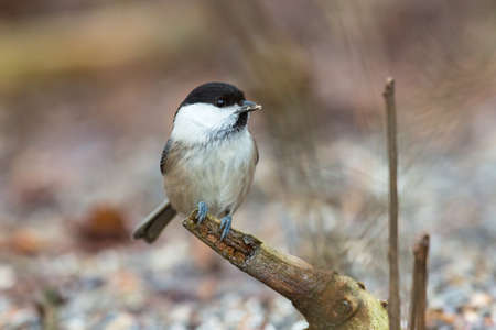 poecile palustris: Marsh tit sitting on a branch in the woods Stock Photo