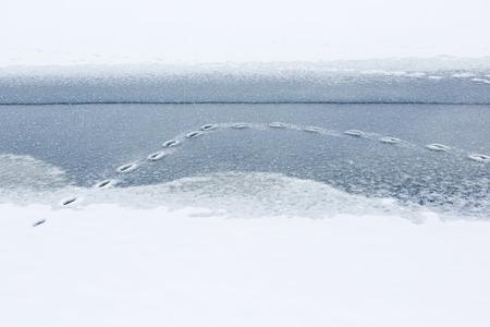 huellas de animales: Pistas animales en hielo h�medo