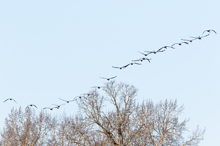 treetops: Flock of cranes in the sky over the treetops