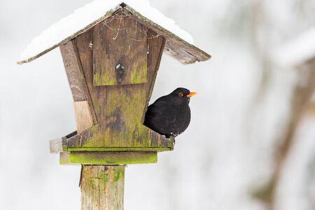 feeders: Bird feeders in the garden with a Blackbird
