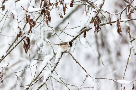 poecile palustris: Marsh tit on a snowy tree branch in the woods Stock Photo
