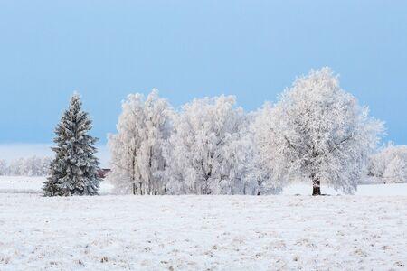hoarfrost: Field with trees in hoarfrost