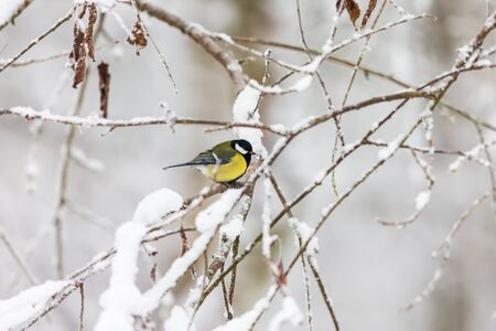 great tit: Great tit on a snowy branch