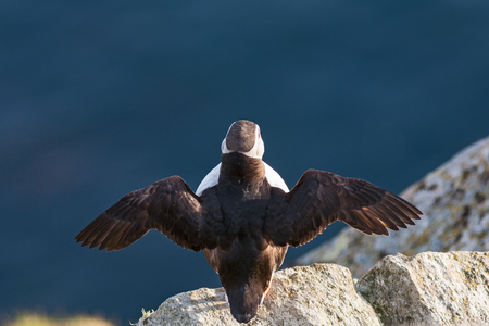 fratercula: Puffin bird that sitting on a rock and wave the wings
