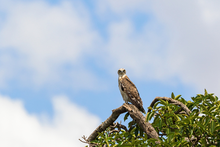 toed: Short toed snake eagle sitting on a tree branch Stock Photo