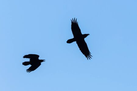 corvidae: Raven silhouettes flying in the sky Stock Photo