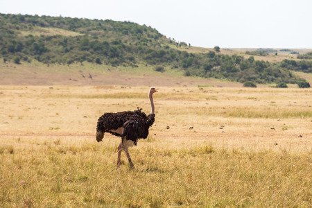 masai mara: Ostrich walking on the savannah in Masai Mara National Park