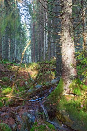 forest stream: Forest stream in the old coniferous forest